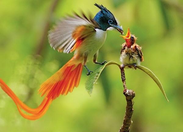 61 Gambar Burung Cendrawasih Raja Gratis Terbaik