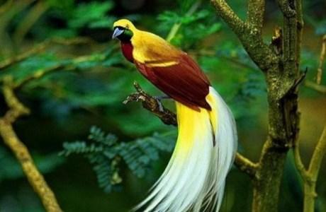 Fakta Unik dan Menarik Tentang Cendrawasih Burung Spesies Asli Papua