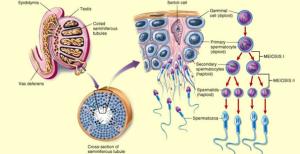 Pengertian, Fungsi, Tahapan, dan Faktor Proses Spermatogenesis pada Manusia