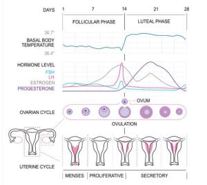 Fase Siklus Menstruasi pada Wanita dan Faktor yang Memengaruhinya