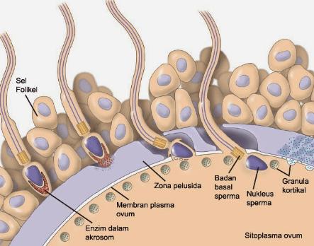 Proses Fertilisasi Dan Perkembangan Embrio Dalam Rahim Uterus