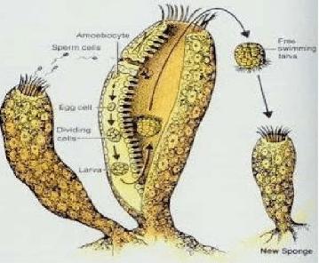 29+ Hewan hydra berkembang biak dengan cara terupdate