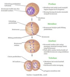 Perbedaan Pembelahan Sel Secara Mitosis dan Meiosis Dilengkapi Gambarnya
