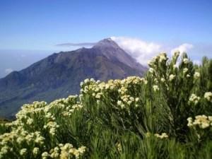 Fakta Unik Tentang Edelweis Bunga Abadi yang Tidak Boleh Dipetik