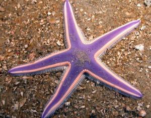 Fakta Unik dan Menarik Seputar Bintang Laut yang Wajib Anda Baca