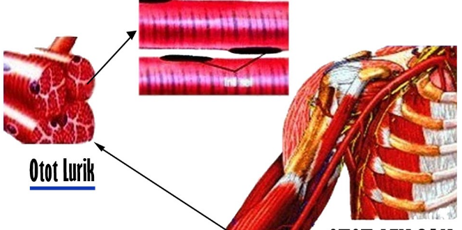 Pengertian Otot Lurik Fungsi Dan Ciri Cirinya Dilengkapi Gambar