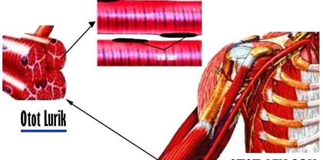 Pengertian Otot Lurik, Fungsi, dan Ciri-cirinya Dilengkapi Gambar