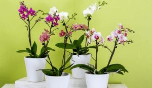 Fakta Unik dan Menarik Tentang Bunga Anggrek Untuk Anda Ketahui