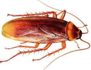Fakta Unik Tentang Kecoak, Serangga Yang Tahan Radiasi Nuklir