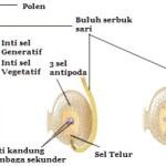 Proses Pembuahan Tumbuhan Angiospermae dan Gambarnya