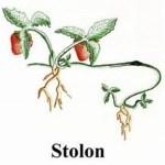 Perkembangbiakan Tumbuhan Secara Stolon (Geragih) dan Contohnya
