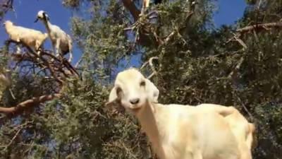 Risultati immagini per capre della palmaria