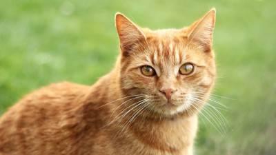 Risultati immagini per gatto rosso