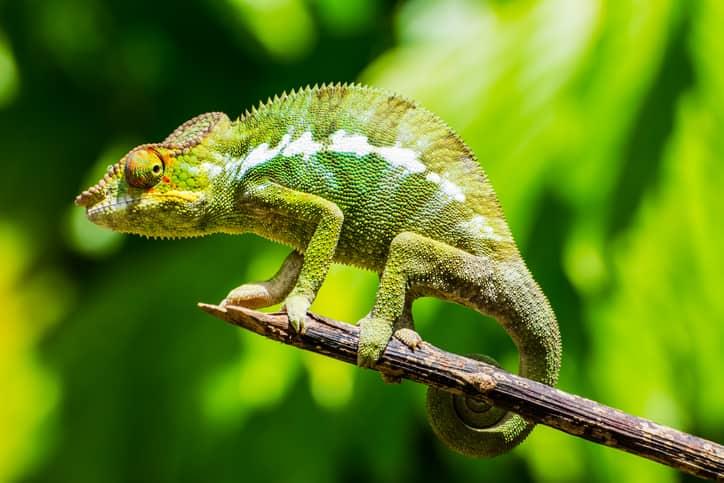 Dove Vive Il Camaleonte Habitat Nuove Specie E Aspettative