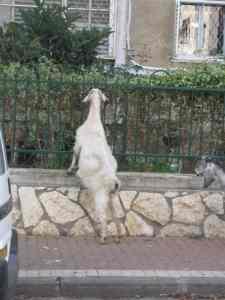 In Lieu of Grass, a Goat Grazes on Shrubbery