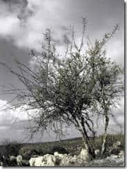 tree at Adulam