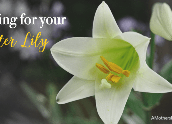 How to Take Good Care of Your Beautiful Easter Lily