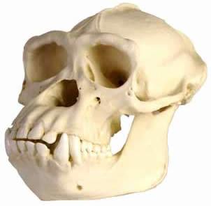 champanzee skull