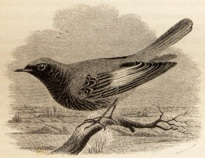 Black_Redstart_from_Yarrell_History_of_British_Birds_1843_(woodcut_only)