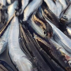 Anchovies in Terracina Fish Tour