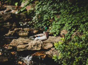 dallas wedding photographer at the fort worth japanese gardens (10)