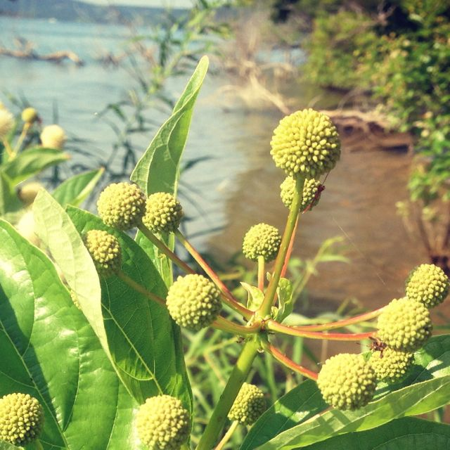 Plant life by lake in Branson MO