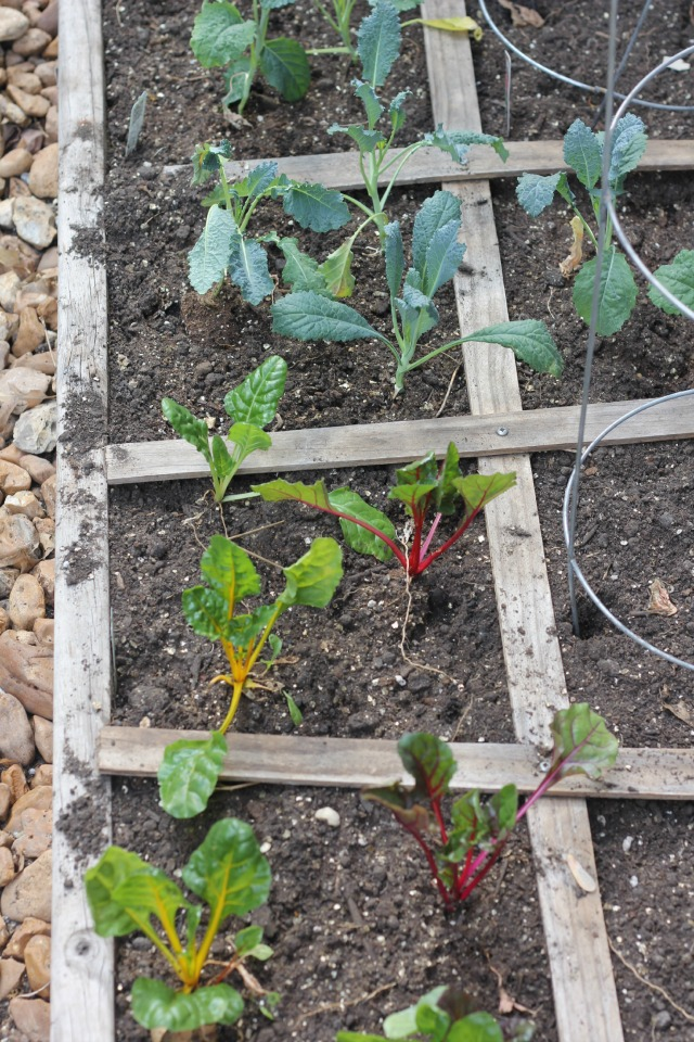 Square-Foot-Garden-Swiss-Chard