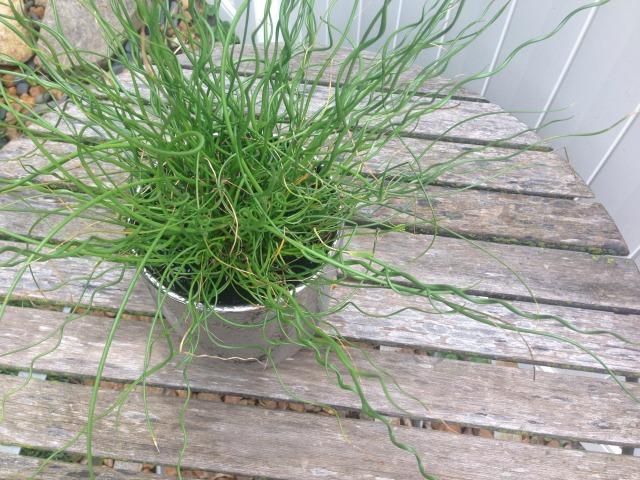 SPIRAL-GRASS