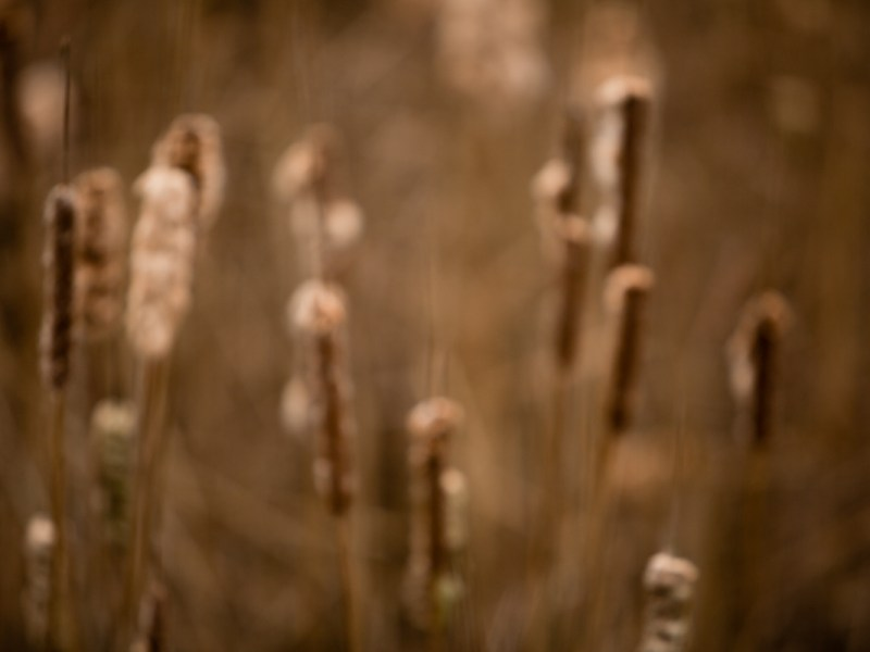 Artistic image of cattails in the autumn.