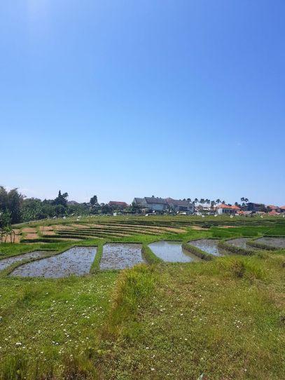 Campos de arroz en Canggu