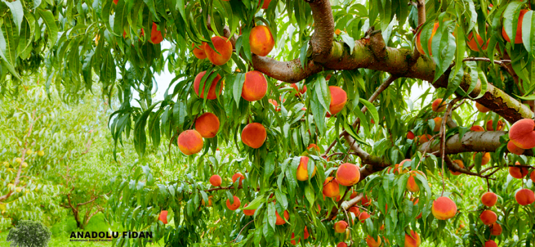 Şeftali Ağacı Nedir? Kaç Çeşit Şeftali Vardır?