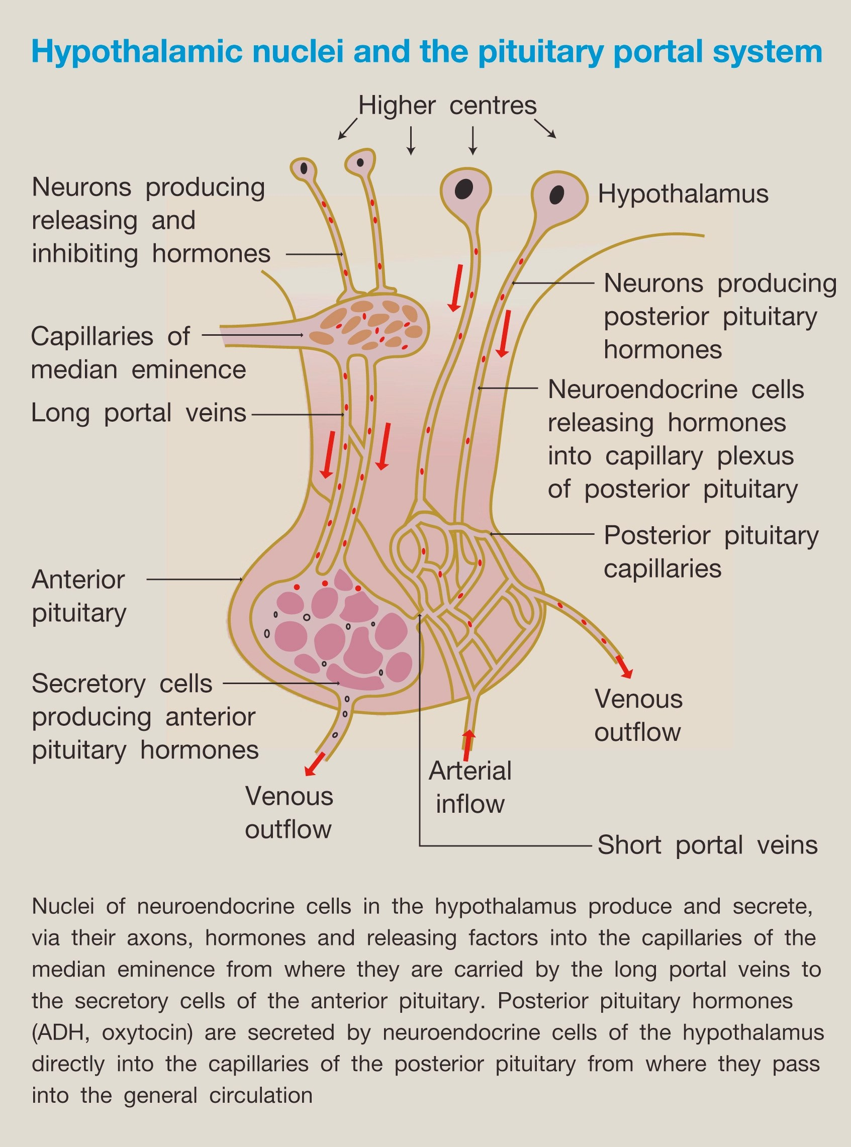 Hypothalamic And Pituitary Function