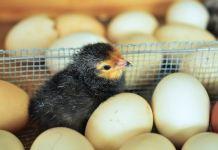 Cara Memulai Ternak Ayam Kampung Super