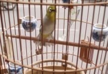 Makanan Burung Pleci agar Rajin Berbunyi