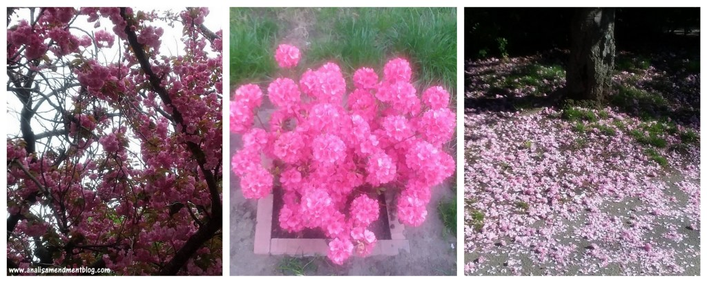Three picture collage, pink blossoms on tree, pink flowers in container on grass, pink petals scatterd on green grass beside a tree.