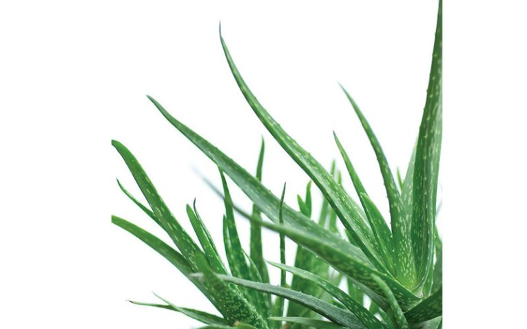 Herbalife promueve el Aloe Vera para una buena nutrición