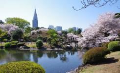 El cerezo sakura en floración en el Jardín Nacional Shinjuku Gyoen / Foto: Turismo de Japón