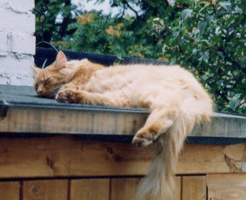 Fluffy ginger tom cat napping in London