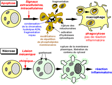 Comparaison entre apoptose et nécrose