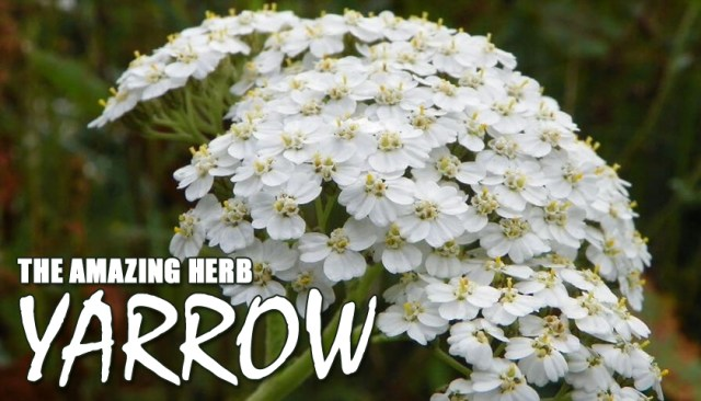 Yarrow – The Amazing Herb That Belongs In Your Cabinet