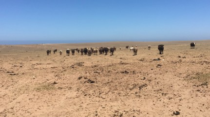 As mentioned, the whole coast is very dry and barely has any vegetation in the dry season. We were really wondering what the cows could find to eat in such a field! Tosupplement their food, the farmers give them some grain and a bit of hay.