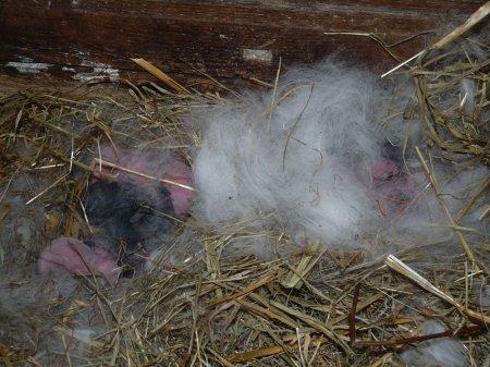 L'autre nid où ils sont recouverts de poils