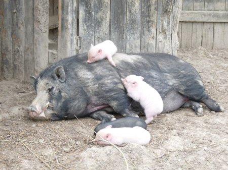 Pas très intéressés par les histoires de savon, les bébés cochons nains font la sieste sur leur papa.