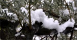 photo d'olivier sous la neige