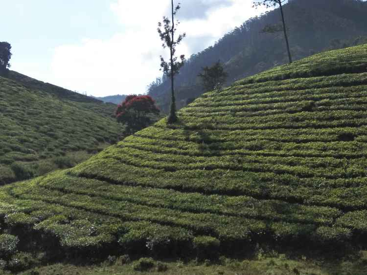 tea plantations kerala