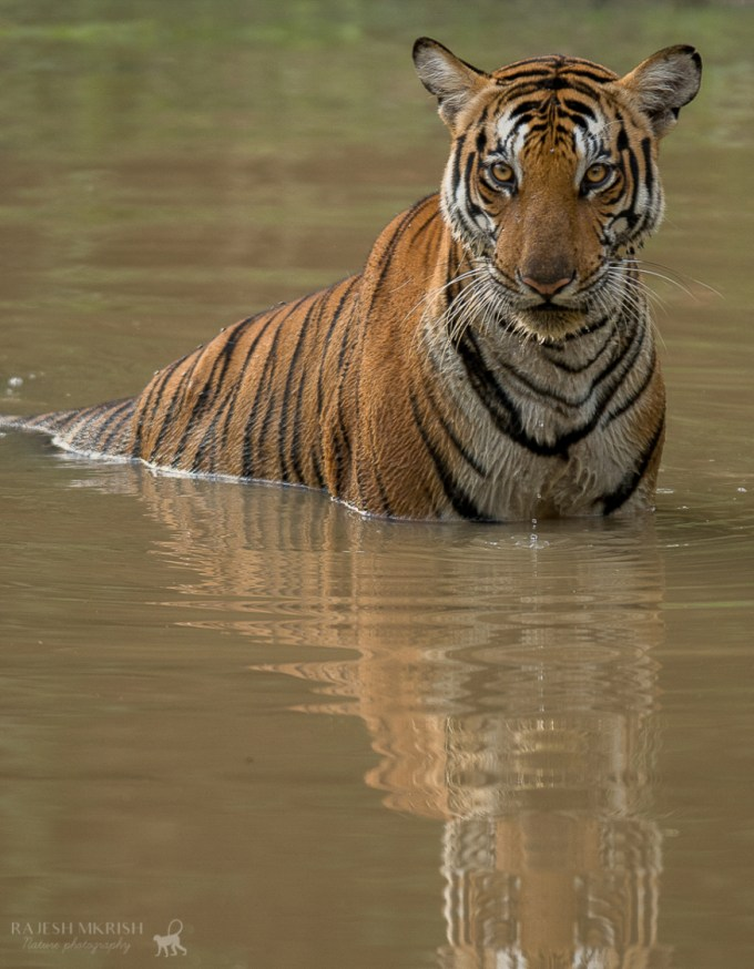 Tiger Spotting in Kabini