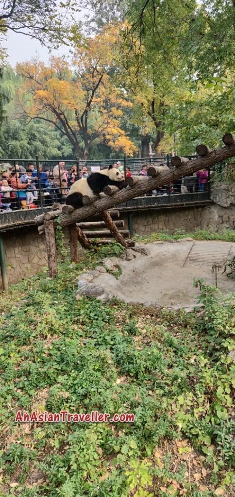 Great Panda Beijing Zoo