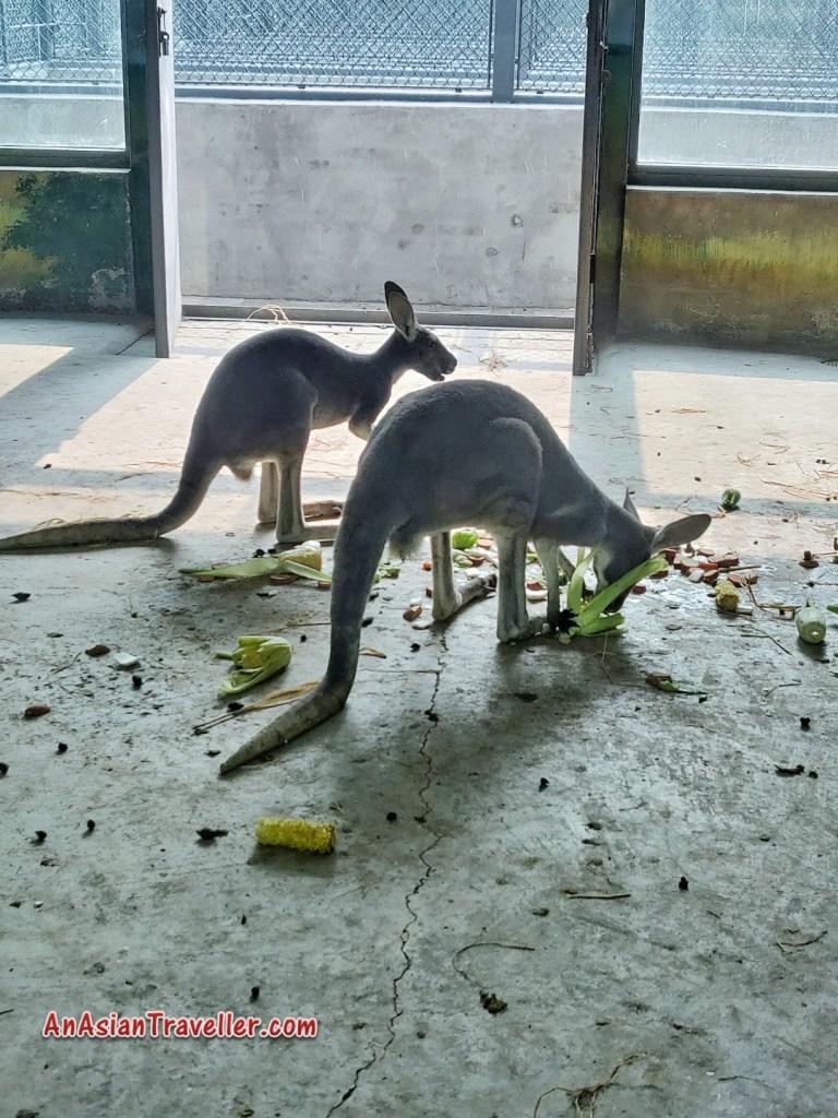 Kangaroo Beijing Zoo