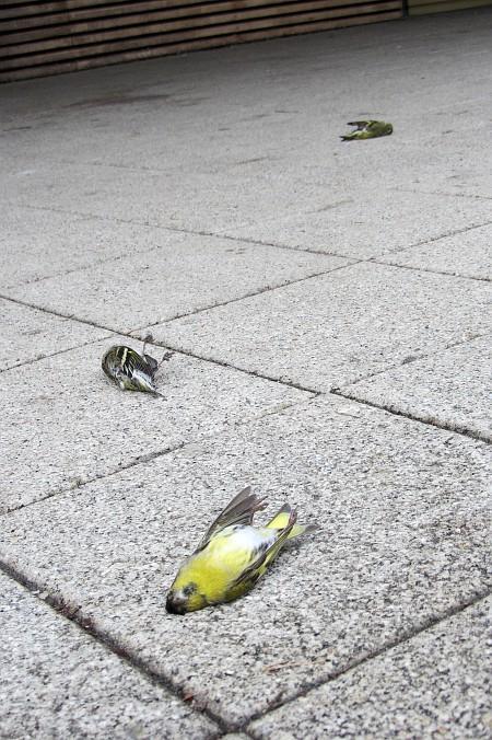 Tote Finken liegen vor dem E-Bau am 15.12.2011.