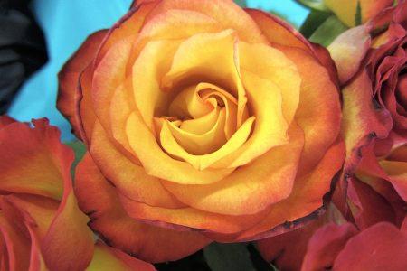 Die Rosen der Woche sind goldgelb mit abendroten Rändern. (Foto: Martin Dühning)